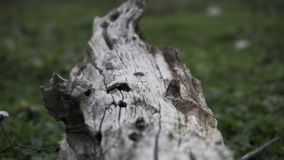 Close-up of a of a tree trunk, focus and unfocus details. On lawn stock footage