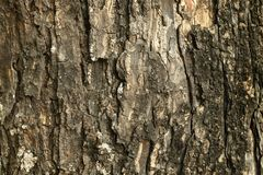 Close up of tree trunk in the forest, dark brown bark wood background with old and crack.  royalty free stock image