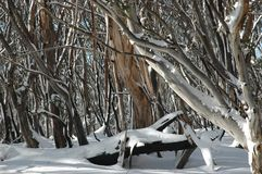 Australian gum trees in the snow. A close-up of tree trunks covered in snow. The bark is peeling from some of the trunks, and the trunks are different colours Stock Images
