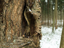 A close-up of a tree during winter. An old trees bark torn open Royalty Free Stock Images