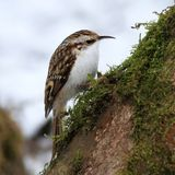 Treecreeper (Certhia familiaris) Royalty Free Stock Photo
