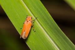 Close-up treehopper or spittlebug on green leaf Stock Photo