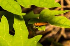 Close-up treehopper or spittlebug on green leaf Stock Image