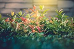 Close up treetop green leaves of bush with sun flare radiating from top side and  brick wall in the background. Selective focus Royalty Free Stock Photo