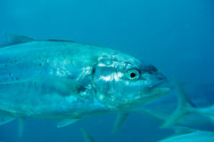 Close-up Trevally Stock Images