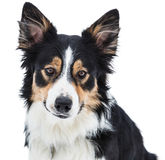 Close-up of a tricolor border collie Stock Images