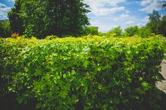 Shorn bushes in the park. Close up of trimmed bushes in the city park Royalty Free Stock Photo
