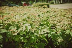 Shorn bushes in the park. Close up of trimmed bushes in the city park Stock Photos