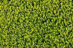 Close up of trimmed hedge Royalty Free Stock Photo