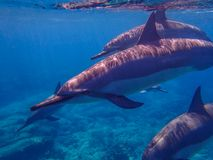 Close Up Trio of Spinner Dolphins Swim Past Camera Royalty Free Stock Photography