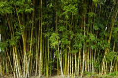 Close up tropic bamboo Royalty Free Stock Photo