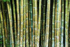 Close up tropic bamboo Royalty Free Stock Images