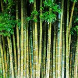Close up tropic bamboo Royalty Free Stock Image
