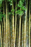 Close up tropic bamboo Royalty Free Stock Photography