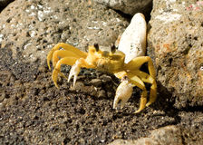 A close-up of a tropical amphibian. A crab with claws ready as seen at Lower Bay Beach in the caribbean Royalty Free Stock Images