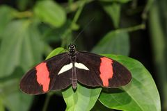 Tropical butterfly dido longwing on the leaf Stock Images
