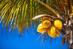 Close-up of tropical coconut palm tree with yellow Royalty Free Stock Photography