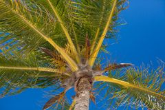 Close-up of tropical coconut palm tree with yellow Stock Images
