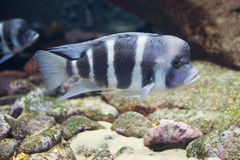 Close up on tropical Cyphotilapia frontosa fish Royalty Free Stock Photo
