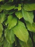 Close-up tropical das folhas, estufa, fundo atmosférico, SE Foto de Stock