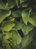 Close-up tropical das folhas, estufa, fundo atmosférico, SE Fotos de Stock Royalty Free