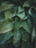 Close-up tropical das folhas, estufa, fundo atmosférico, SE Imagens de Stock Royalty Free