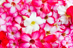 Close up Tropical flower Adenium. Close up of Tropical flower Adenium Stock Image