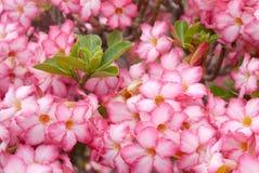 Close up of Tropical flower Adenium Stock Photo