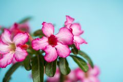 Close up of Tropical flower Pink Adenium. Royalty Free Stock Photos