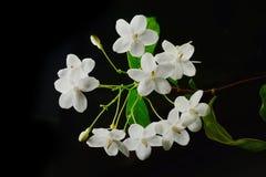 Close up of tropical fragrant flower (Wrightia religiosa Benth) Stock Photos