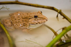 Close-up Tropical Frog Stock Image