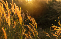 Close up tropical grass flower on sunset. Close up tropical grass flower or setaceum pennisetum fountain grass on sunset background Royalty Free Stock Images