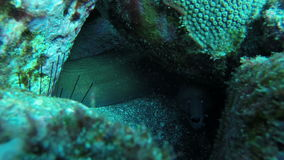 Close Up of Tropical Green Eal off the coast of Cape Verde stock footage