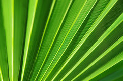 Close up of Tropical Green Leaf Texture use as a Background Royalty Free Stock Photo