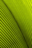 Close up of Tropical Green Leave Texture. Use as a Background royalty free stock photography