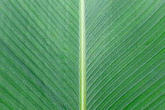 Close up of Tropical Green Leave Texture use as a Background Stock Photo