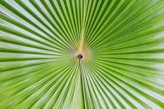 Close up of Tropical Green Leave Texture use as a Background Royalty Free Stock Images