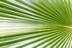 Close up of Tropical Green Leave Texture use as a Background Royalty Free Stock Photos