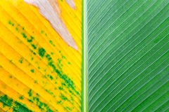 Close up of Tropical Green Leave Texture use as a Background. Royalty Free Stock Photography