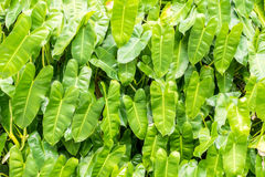 Close up tropical nature green leaf caladium background. Close up tropical nature green leaf caladium Royalty Free Stock Image