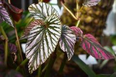 Begonia Brevirimosa plant leaf stock photos