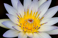 A Close up of a Tropical White Water Lily Flower with Center Stamens Partially Closed Royalty Free Stock Photos