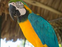 Close up of tropical Blue Parrot in Aruba stock photo