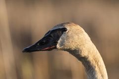 A close up of a Trumpeter Swan in the spring. On a wetland in Minnesota Royalty Free Stock Image