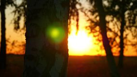 Close-up of a trunk of a birch tree in a forest against a sunset background. Sun rays passing through the tree trunk. The motion camera slider. 4k stock video footage