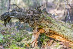 Close up of the trunk of a dry tree fallen with mold in the middle of the forest. On a wonderful and sunny day in Brunssummerheide in south Limburg the stock images