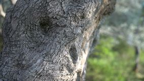 Close-up of the trunk of a tree of olives. Olive groves and gardens in Montenegro stock video