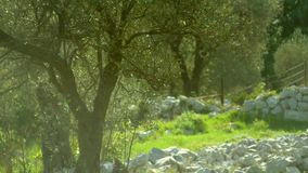 Close-up of the trunk of a tree of olives. Olive groves and gard stock video