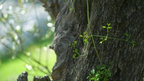 Close-up of the trunk of a tree of olives. Olive groves and gard stock video footage