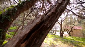Close-up of the trunk of a tree of olives. Olive groves and gard stock footage